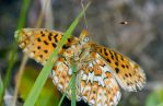 Pearl-bordered fritillary (Boloria euphrosyne) by Azph