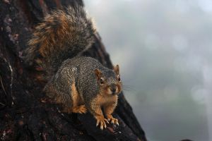 squirrel by CrisisCorps