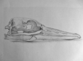 Gannet Skull Drawing by Baron-Kettell