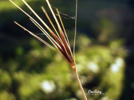 little hay grass by ceciliay