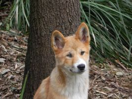 Warrigal Pup - Dingo by Passion-For-Pictures