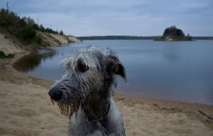 Portrait of a Wolfhound. by Midaaaa