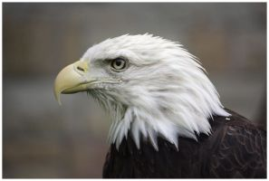 Bald Eagle I by DysfunctionalKid