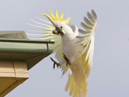 Sulphur Crested Cockatoo 133 by chezem