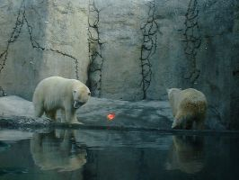 Polar Bears by CarolineTigeress