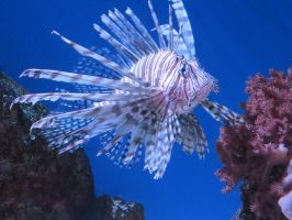 Lion Fish Stock 9854 by sUpErWoLf--StOcK