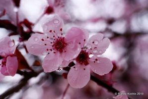 Cherry blossoms by digitalabstract