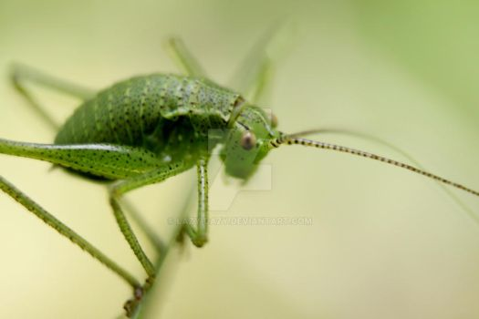 bush cricket 3 by Lazy-Dazy