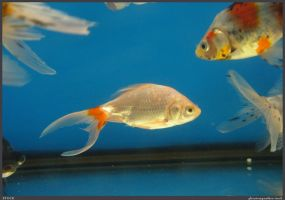 Fish Stock 0060 by phantompanther-stock