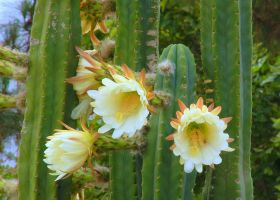Cactus Flower Trio by smfoley