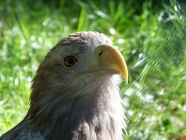 White-tailed Eagle by xxtasiaxx