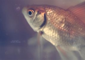 .: Golden Fish :. by Rare-Pearl