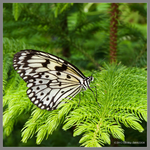 Tree Nymph on Norfolk Island Pine by Mogrianne