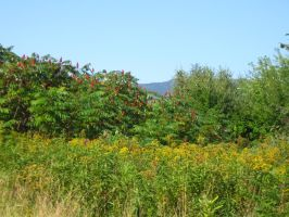 sumac and golden rod by crazygardener