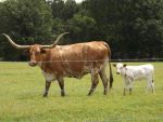 Longhorn and calf by TheDude94