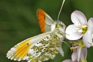 Orange Tip by snomanda