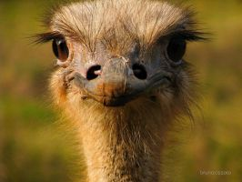 Happy Ostrich by brunocissoto