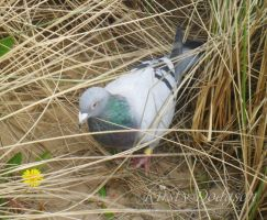 Pretty pigeon by Kirsty2010dodgs