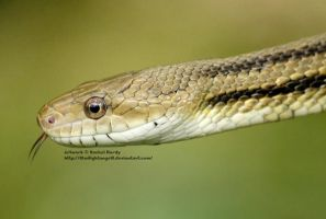 Yellow Rat Snake by 8TwilightAngel8
