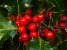 Holly Berries by Softspoken-One