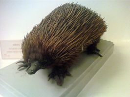 Short-beaked Echidna by Lynus-the-Porcupine