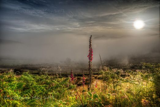 Foxglove, mist, dawn by cprmay