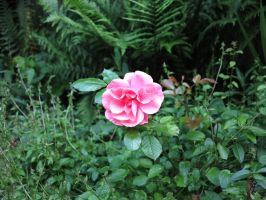 Manual focused rose by MagicoffMusic