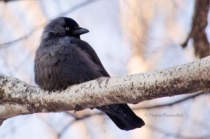 jackdaw by Zheltkevich