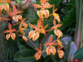 Starfish Orchid by BlackDodgeDragon