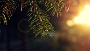 pine and bokeh 2 by AnonimFilozof