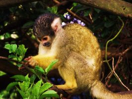 Curious Squirrel Monkey by Raaarrrrw