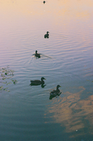Ducks by Annyyyyy