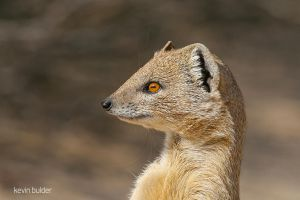 Yellow Mongoose Portrait by Kbulder