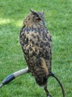 stock Uhu - eagle owl back by Nexu4