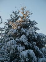 Fir in Winter 02 by botanystock