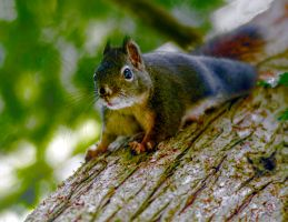 Squirrel 1 by Mackingster