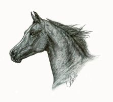 Arabian Stallion Profile Study by ChayaA