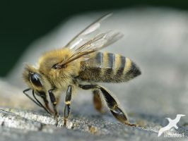 mighty Bee by albatros1