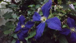 More Purple Clematis by DarlingChristie