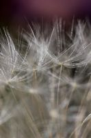 Dandelion by wasted49