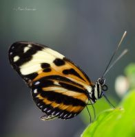 Heliconius. by Phototubby