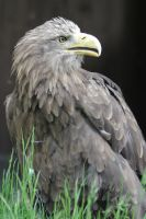 White-tailed Eagle by Parides