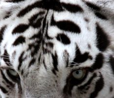 White Tiger II by LHufford