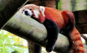 Red Panda by Becky125