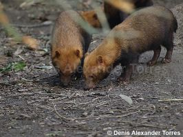 Bush Dogs by torreoso