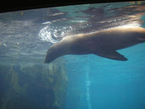 Swimming Sealion by MaeMoon