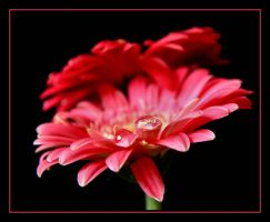 Pink and Red.... by Pjharps