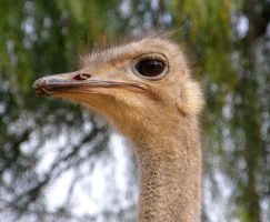 Ostrich Female by Jenvanw