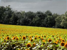 Sun flower field by Bonasia
