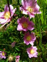 Wild Roses in Grass by Whimseystock